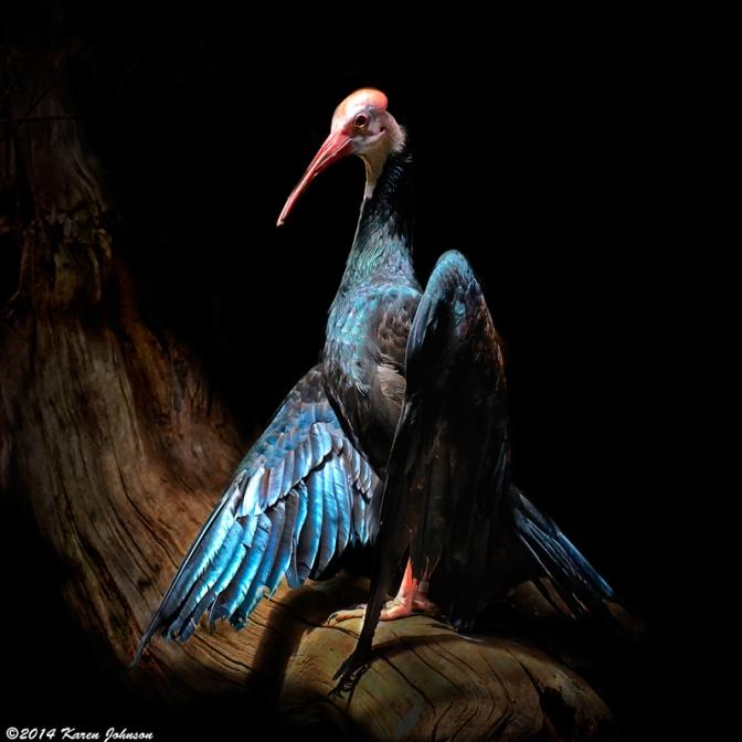 Beautiful-Bird-Bronx-Zoo